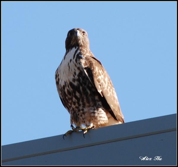 Eagle in Twinpeaks