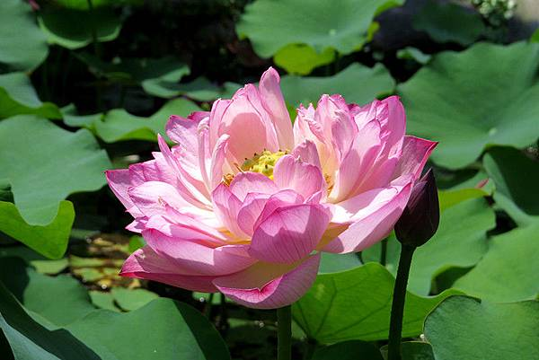 牡丹蓮之美