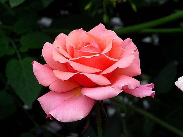 玫瑰  玫瑰 我愛你