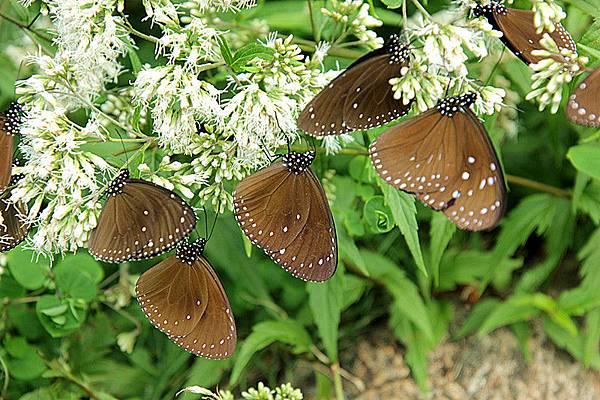 茂林蝴蝶季