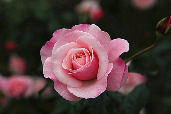 雅聞玫瑰森林