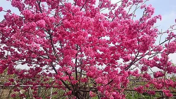 泰安派出所~櫻花