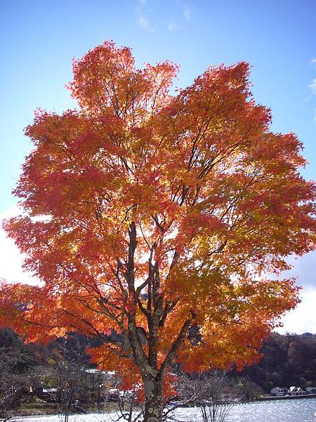 中禪寺湖旁的超大楓樹