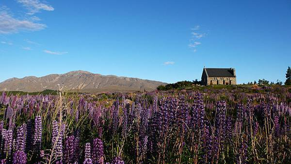 church of the good shepherd and Lupins