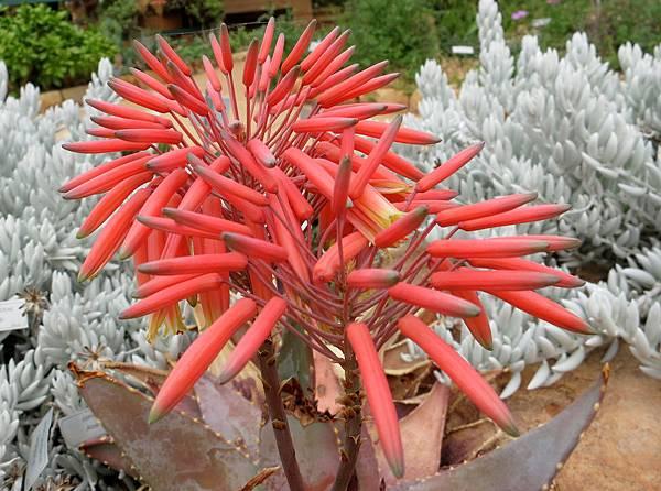 Aloe saponaria-廣葉蘆薈的花