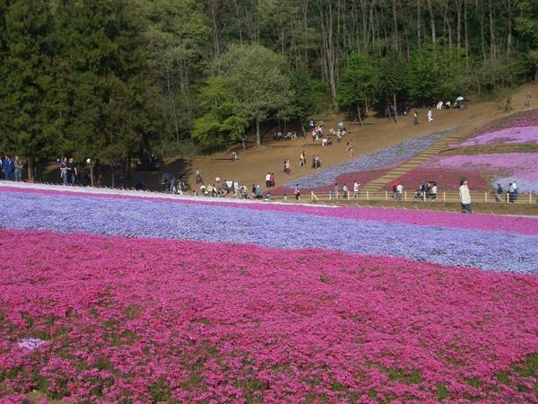 秩父羊山公園 (8).JPG