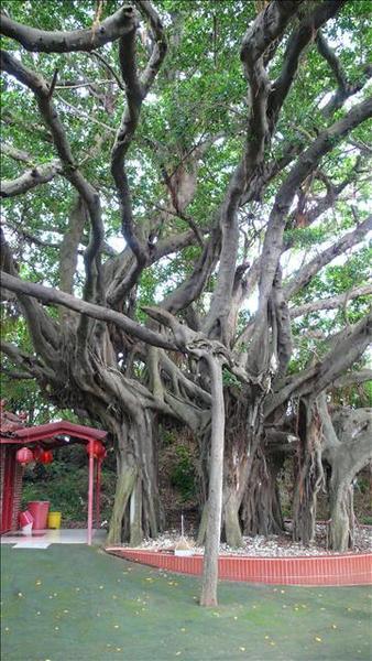 天啊!老榕樹來了!哪不是有猴精出沒的地方?