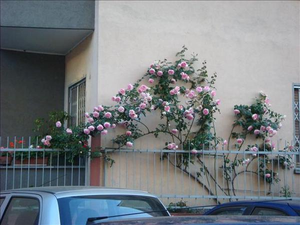 玫瑰花牆,隨手一拍