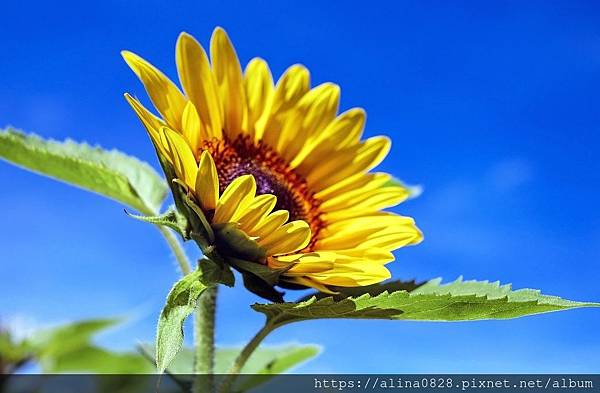 sunflower-1536088_1280.jpg