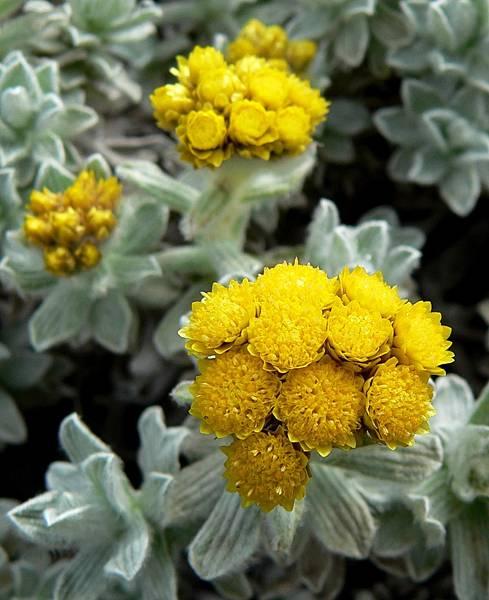 Helichrysum_splendidum_3.jpg