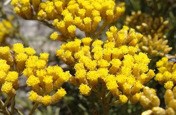 Helichrysum_italicum_spp_serotinum.002_-_Islas_Cies.jpg