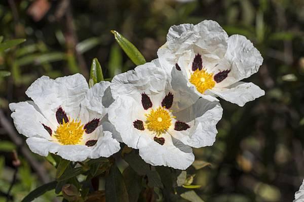 cistus-ladanifer-flowers_69593-3157.jpg