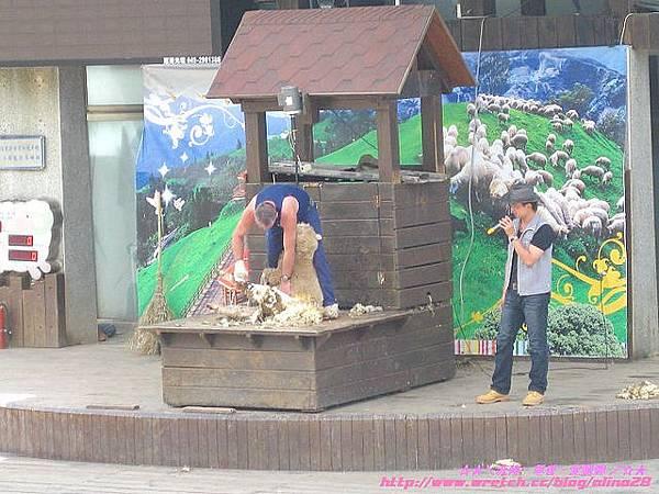 『南投』清境農場羊咩咩剪羊毛秀