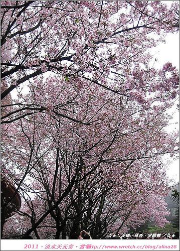 『新北市』淡水區 粉紅世界‧天元宮櫻花季