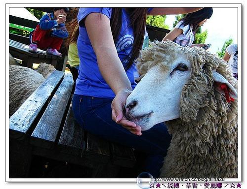 『2010愛戀七夕‧中彰投苗』南投‧終於來到清境農場‧青青草原可愛羊咩咩