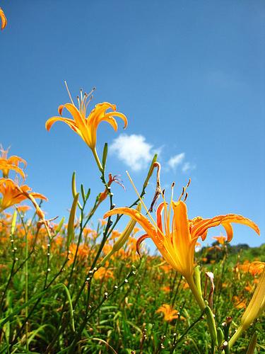 『花蓮』 2010年 六十石山金針花海季