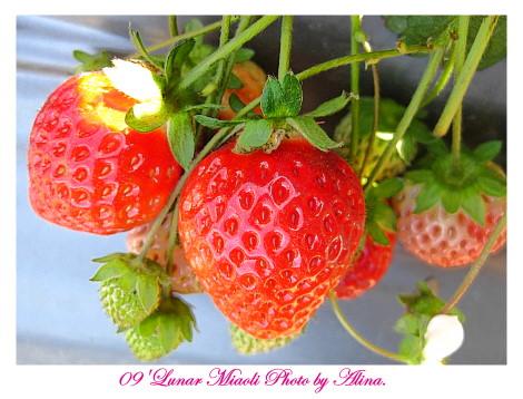 『苗栗走春』體驗‧大湖採草莓