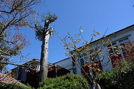 900歲檜木