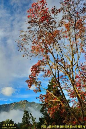 【阿里山快讯】阿里山宾馆前最美!台18线的青枫红了 - 阿里山賓館 - 阿里山賓館官方部落格