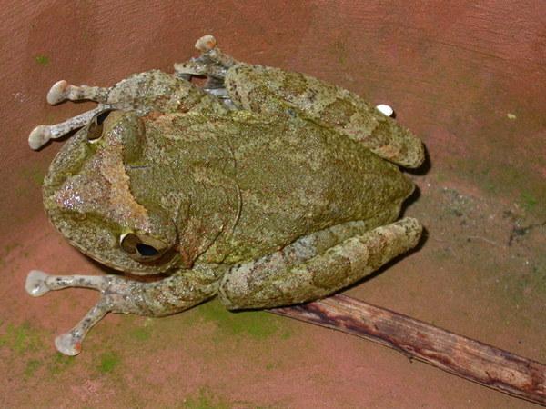 褐樹蛙060804中寮 (5).JPG