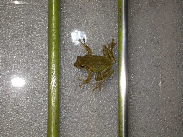 褐樹蛙060804中寮.JPG