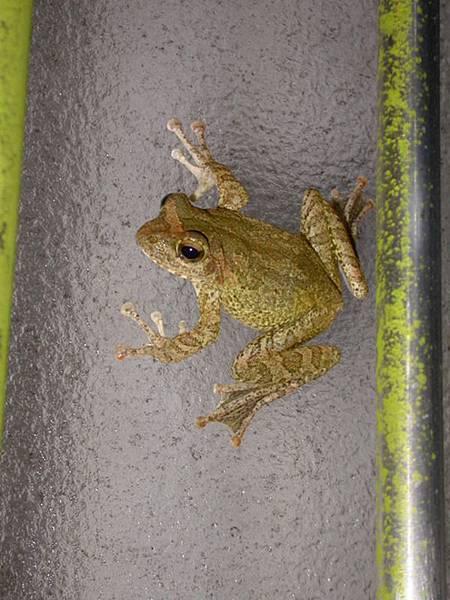 褐樹蛙060804中寮 (1).JPG