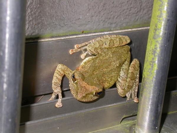 褐樹蛙060804中寮 (3).JPG