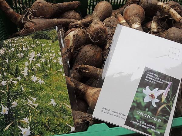金花石蒜與台灣百合