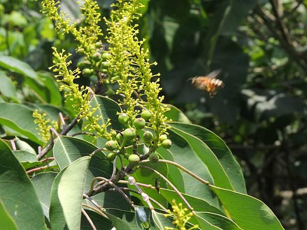 蜜蜂飛近山桕花序
