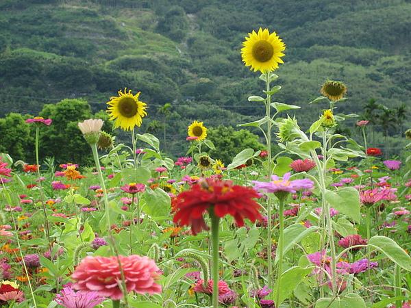 花蓮 山邊 漂亮的波思菊