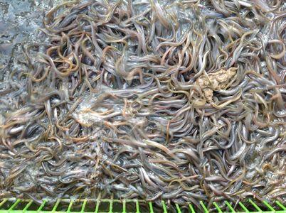 2個月大鰻苗餵餌料