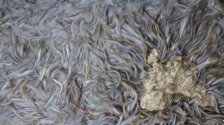 鰻苗成長第31天