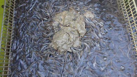 鰻苗成長第58天