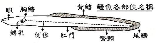 鰻魚生理結構