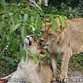korea_lion.jpg