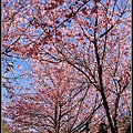 武陵櫻花18.jpg