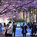 武陵櫻花17.jpg