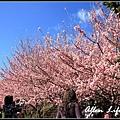 武陵櫻花15.jpg