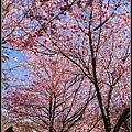 武陵櫻花23.jpg