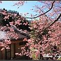 武陵櫻花25.jpg
