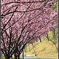 武陵櫻花31.jpg
