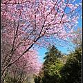 武陵櫻花37.jpg