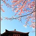 武陵櫻花53.jpg