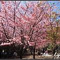 武陵櫻花61.jpg