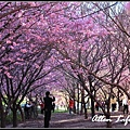 武陵櫻花67.jpg