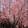 武陵櫻花76.jpg