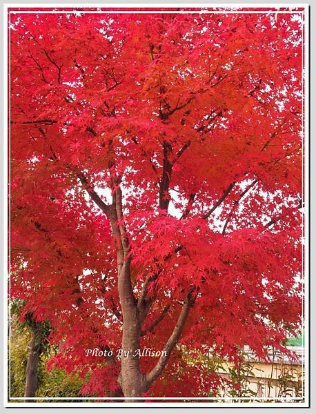 濱名湖畔的楓紅