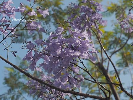 夢幻紫 藍花楹