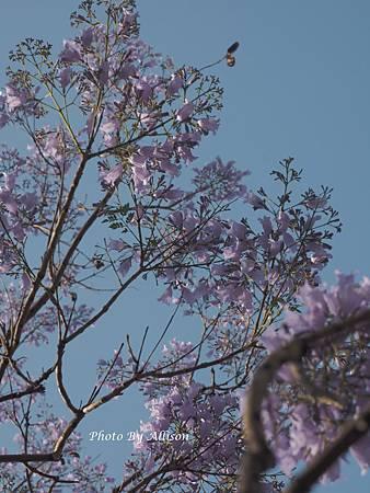 夢幻粉紫 藍花楹