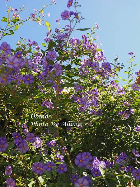 藍紫色牽牛花